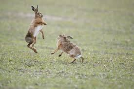 res 850 brown hares boxing 1834109