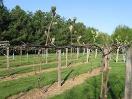 Vineyard Trellis And Training Winemakermag Com