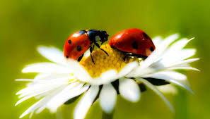10 plants to attract ladybugs in your