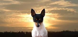 toy fox terriers o bj puppies with a