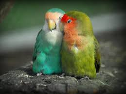 beautiful love birds wallpapers images