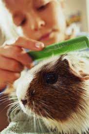 guinea pig grooming and nail trims