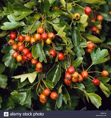 """Crateagus monogyna - showing fruits in Autumn May """"""""Common Stock Photo -  Alamy"""