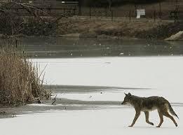 Adopt A Pet Com Blog Keep Your Pets Safe From Coyotes Adopt A Pet Com Blog
