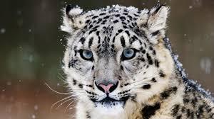 330 snow leopard hd wallpapers