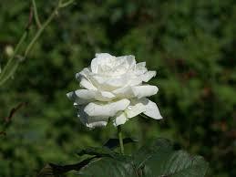 اجمل صور الورد الابيض