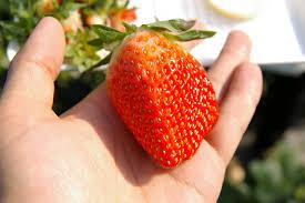 เมื่อมาเที่ยวญี่ปุ่น เราสามารถซื้อผักหรือผลไม้สดๆ กลับไปเป็นของฝาก ...