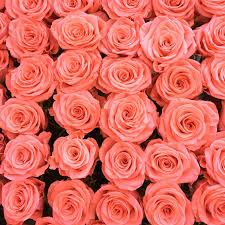 18 special rose color meanings rose