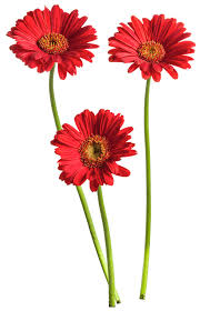 Image result for gerbera