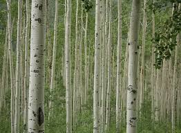 Free Download Aspen Trees Wall Mural And Removable Wall Decal 1300x955 For Your Desktop Mobile Tablet Explore 47 Aspen Tree Wallpaper For Home Birch Tree Mural Wallpaper Aspen Forest Wallpaper