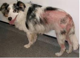 Dog with hair loss and red skin due to scratching so much to get fleas off them.
