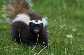 Can Skunks Climb Fences How To Prevent Unwanted Visitors 2020