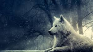 4k wolf wallpaper 43 images