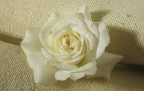 صور ورد ابيض روعه خلفيات زهور بيضاء تجن اجمل الصور