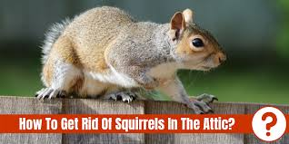 How To Get Rid Of Squirrels In The Attic Pest Control Faq