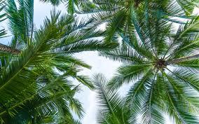 تحميل خلفيات سعف النخيل أسفل عرض السماء الأوراق الخضراء