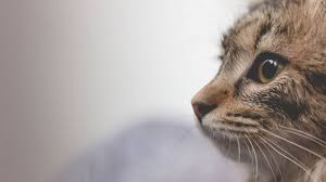 watery eyes in cats causes and treatments