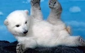 463 polar bear hd wallpapers
