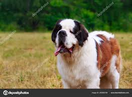 Dog breed Saint Bernard — Stock Photo ...