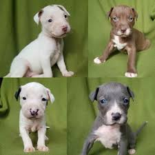 Bull Terrier Puppies For Sale In ...