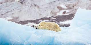 Polar Bears Could Go Extinct By 2100 Due To Global Warming Study Says Daily Sabah