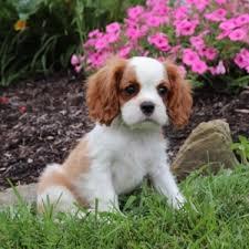 Twila Cavalier King Charles Spaniel Puppy 609379 | PuppySpot