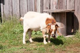 Raising Boer Goats For Profit 2020 The Ultimate Guide Boer Goat Profits Guide