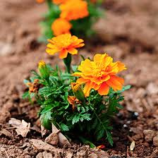 tips for growing marigolds she wears