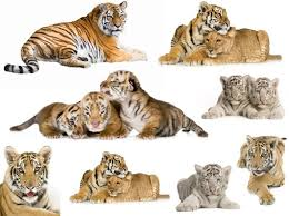 tiger hd picture 2 free stock photos in