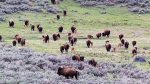 Finding a Future for Yellowstone's Bison - Yellowstone Forever