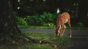 Three Best Deer Repellents Chicago Tribune