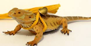 bearded dragon leash and harness