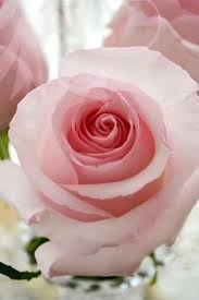 244 Best Trampled Rose images in 2020 | Rose, Beautiful roses ...