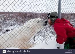 Man Wild Polar Bear Check Each Other Out Fence Stock Photo Alamy