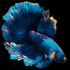 betta fish live wallpaper free mod apk