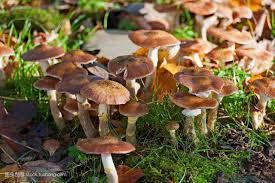 食用菌:怎样培育蘑菇菌种菌丝? - 69农村创业网