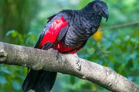 the dracula parrot is a rare bird found