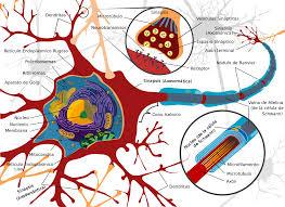 Neurona - Wikipedia, la enciclopedia libre