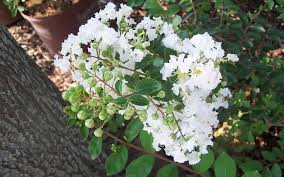 Early Bird White Crape Myrtle Picture - Gardenality
