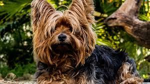 brown yorkshire terrier hd wallpaper