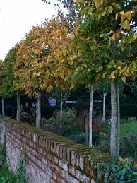 The 8 Best Perfect For Privacy Garden Trees The Middle Sized Garden Gardening Blog