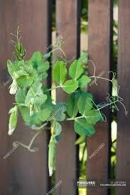 Sweet Pea Vines Growing Through A Fence Outdoors Taste Ingredients Stock Photo 154125704