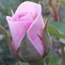 عاشق الورد Home Facebook