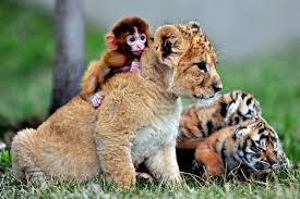 تحميل خلفيات الأشبال القرد الأسد الحيوانات المفترسة الطبيعة