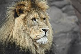 photo wallpaper lion head xl order now