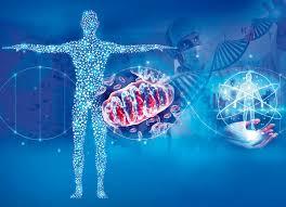 Las mitocondrias tienen un papel clave en la salud, la longevidad ...