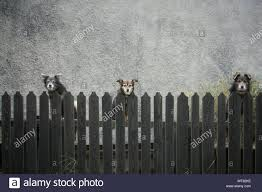 Portrait Of Stray Dogs Looking Over Picket Fence Against Wall Stock Photo Alamy