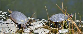 How Red Eared Invaders Are Hurting California S Native Turtles Berkeley News