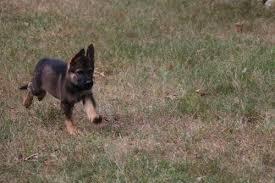 sable german shepherd puppies