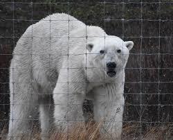 Grumpy Bear Who Came To The Lodge S Fence Picture Of Nanuk Polar Bear Lodge Churchill Tripadvisor